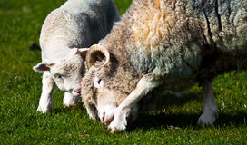 Lamb and mother sheep bonding Royalty Free Stock Photos
