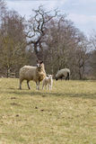 Lamb with mother sheep. English countryside Royalty Free Stock Photos