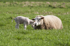 Lamb with mother Royalty Free Stock Images