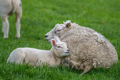 Lamb with mother sheep laying in the grass Stock Photo