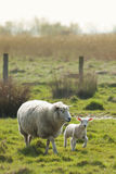 Lamb and mother sheep. On meadow at the Elbe river Royalty Free Stock Photos