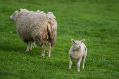 Lamb with mother sheep. Lamb walking away from the mother sheep in fresh green grassland. Springtime Stock Photo