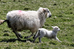 Lamb with mother Royalty Free Stock Image