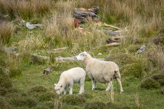 Lamb And Mother In Wild Farm royalty free stock photography