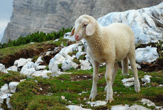 Lamb in the mountains. Julian Alps, Triglav National Park, Slovenia Stock Images