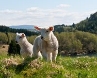 Lamb in nature royalty free stock images