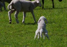 Lamb needs a pee Royalty Free Stock Images