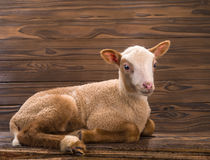 Lamb Royalty Free Stock Photography