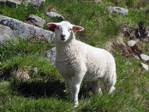 Lamb on the Norway mountains stock photography