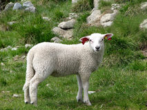 Lamb on the Norway mountains Royalty Free Stock Image