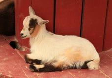 Lamb at Old MacDonald's Farm Royalty Free Stock Photos