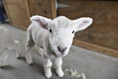 Lamb On A Shearing Farm Stock Image