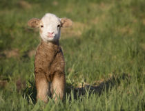 Lamb. One day old Katahdin lamb ewe hair sheep, smiling for the camera. Springtime in Wisconsin Stock Image