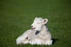 Lamb with open mouth Royalty Free Stock Photography