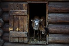 Free Lamb Out Of The House Royalty Free Stock Photo - 132660075