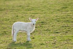 Lamb (Ovis aries) Alone in Pasture Royalty Free Stock Photos