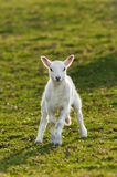 Lamb (Ovis aries) in Pasture Royalty Free Stock Images