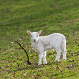 Lamb (Ovis aries) & Stick. Lamb & Stick - lamb stands in Welsh pasture next to stick (Ovis aries royalty free stock image