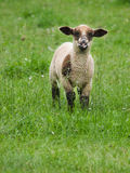 Lamb on the pasture Stock Photography