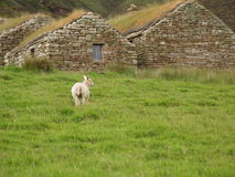 Lamb in the Pasture. A lamb in a pasture of green grass. A shepherd's home is in the background royalty free stock photography