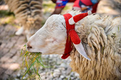 Lamb on pasture Royalty Free Stock Photography