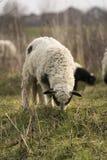 Lamb Stock Images