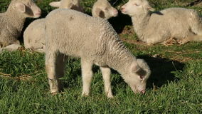 Lamb on pasture stock footage