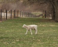 Lamb in a pasture. White lamb in a pasture with a fence in perspective and trees Stock Images