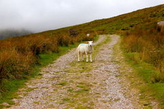 Lamb. On a path in ireland Royalty Free Stock Photography