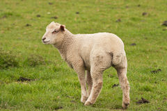 Lamb pausing to look back Royalty Free Stock Images