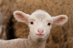 Lamb Portrait Stock Photo