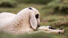 Lamb Portrait Royalty Free Stock Image
