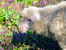 Lamb portrait on flowers background royalty free stock image
