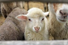 LAMB portrait stock images