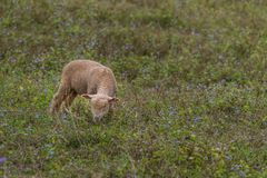 A lamb in a private open zoo. Enjoy eating the grass in the field Royalty Free Stock Photos