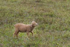 A lamb in a private open zoo. Enjoy eating the grass in the field Stock Photo