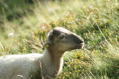 Lamb in Pyrenees Royalty Free Stock Photo
