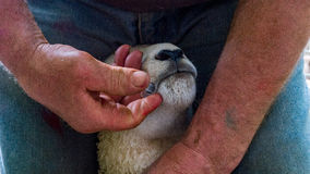 Lamb recieving medicine from farmer Royalty Free Stock Photography