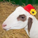 Close up lam. Lamb and red hat with yellow flowers Royalty Free Stock Images