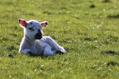 Lamb relaxing in field Stock Image