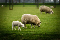 Lamb remains close to the mama sheep in a field in West Friesland, Netherlands. Stock Photos