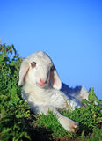 Lamb resting. Small white lamb resting on grass stock images