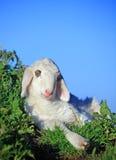 Lamb resting stock images