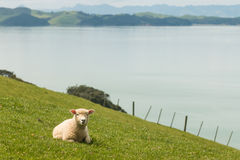 Lamb resting on grassy slope Royalty Free Stock Photography