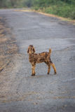 Lamb on road Royalty Free Stock Images
