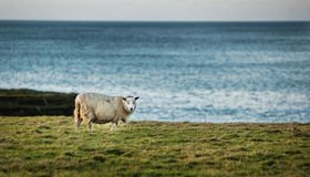 Lamb. A lamb roaming the Irish landscape Royalty Free Stock Photography