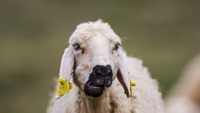 Lamb Ruminating Stock Image