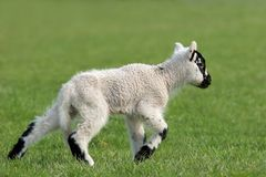 Lamb Running Royalty Free Stock Photography