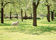 A lamb running in the beautiful orchard Royalty Free Stock Photography