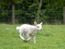 Lamb running in field, Keswick. English Lake District Stock Image